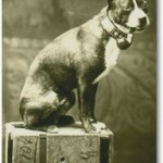 Real Photo Postcard c1912, Boston Terrier on a crate, smoking a pipe and wearing a stunning leather and brass broad dog collar.