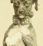 Military Mascot Dog with an enormous and well-decorated collar.
