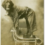 Prince a most patient Newfoundland, dressed in what can only be described as pyjamas and balanced on a wicker piece. c1908.