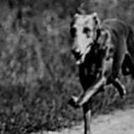running greyhound