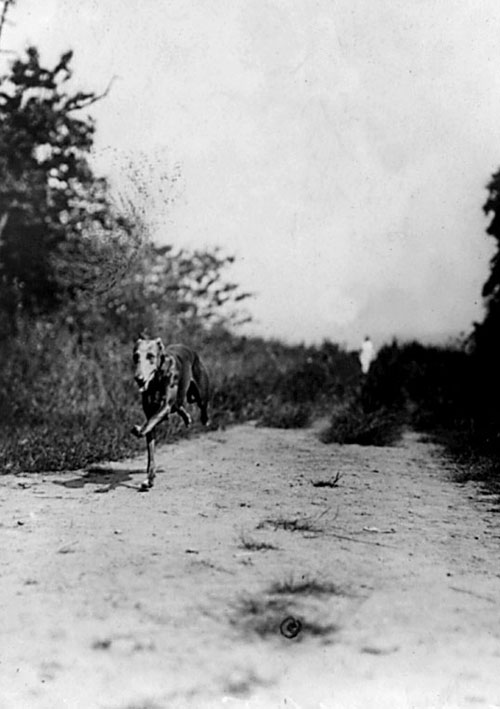 greyhound on track