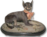 taxidermy Victorian chihuahua dog in glass dome