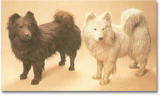 Samoyed: descendent of the dogs used by Captain Scott